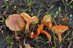 Hygrocybe substrangulata